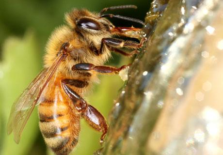 Africanized Killer Bees