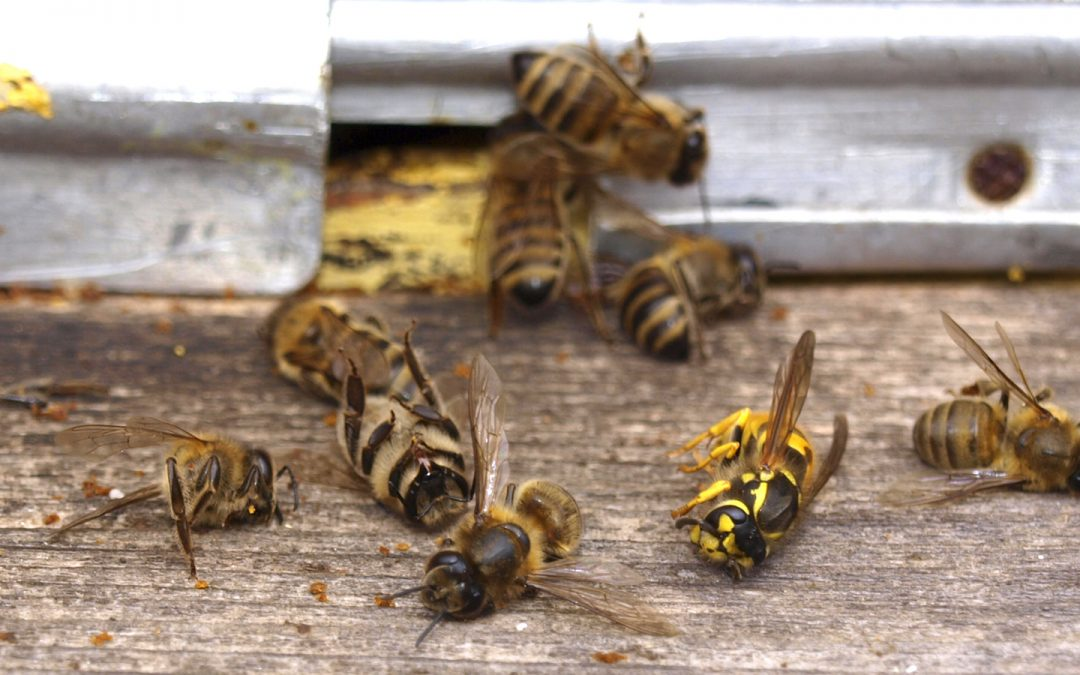 Arizona Bees Dying at Alarming Rate, Exterminators Part of the Problem