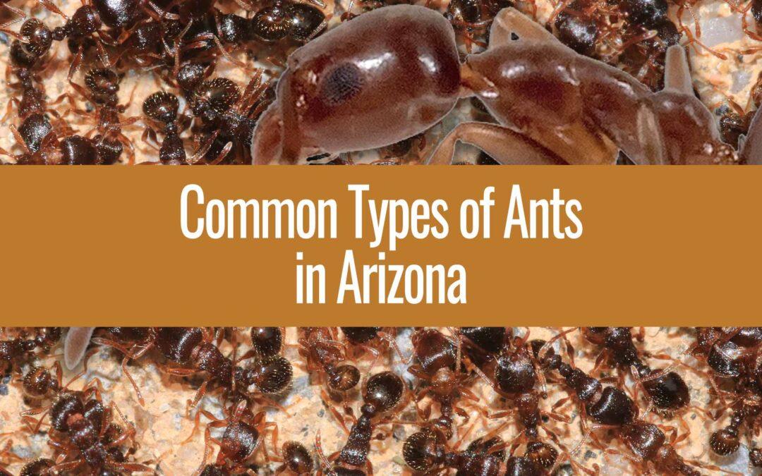Ant Species in Arizona