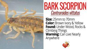 Facts About Arizona Bark Scorpions