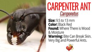 Facts About Carpenter Ants