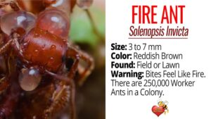 Facts About Fire Ants