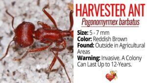 Facts About Harvester Ants