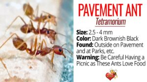 Facts About Pavement Ants