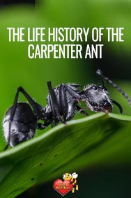 Life History of Carpenter Ant