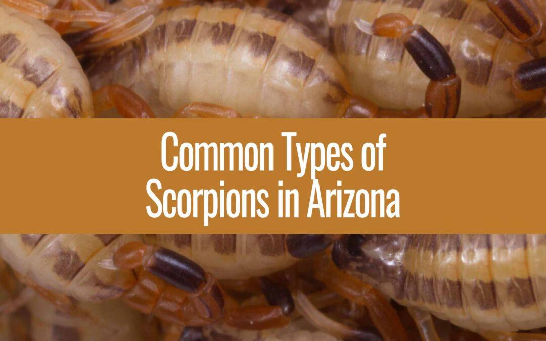 Scorpion Species in Arizona